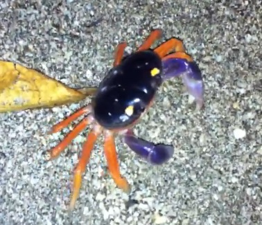 montezuma-crab-at-night.png
