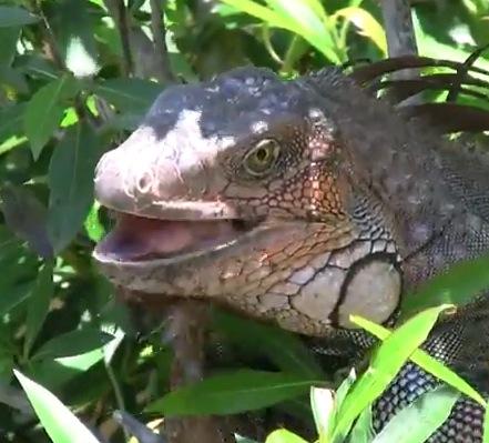 montezuma-iguana.png
