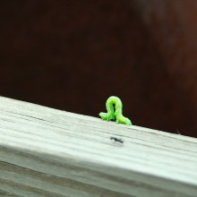 Inchworm crawling along the bridge.