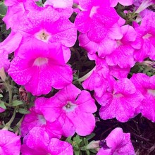 Flowers (or My Awesome iPhone Camera) for day 4 of 31 photos in 31 days