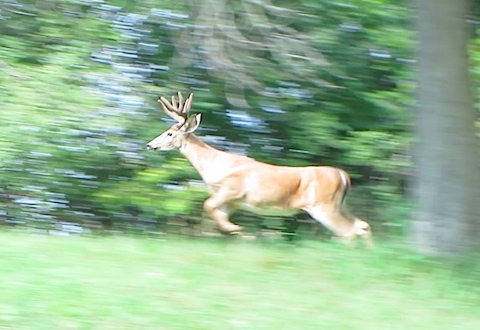 hines-deer-1.jpg