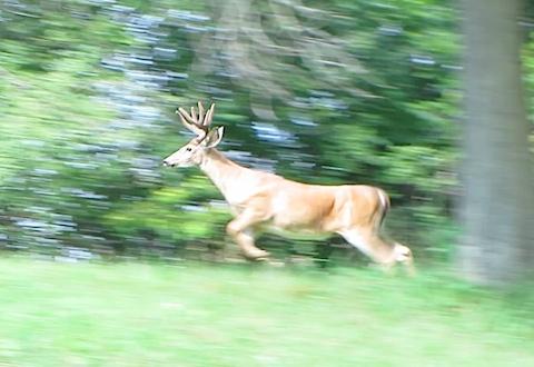 hines-deer-1.jpg