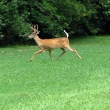 Deer running along Hines Drive