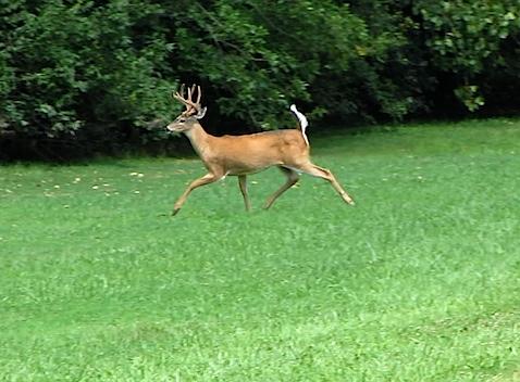 hines-deer-3.jpg