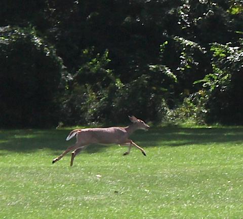 hines-drive-deer.jpg