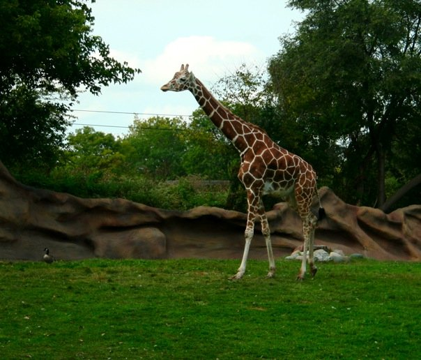 Giraffe-Detroit-Zoo
